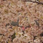 【春歌・桜ソングランキング2015】定番曲・人気曲はもちろん、邦ロックバンド曲特集も!