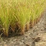 【香川県の米作り:稲刈りの時期が異なるのは何故?】収穫をずらすことで得られるメリットとは