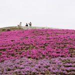 【香川県東かがわ市の新名所「芝桜富士」が見頃!】私設公園の山頂から見える芝桜は絶景!