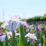 【香川県の初夏のおすすめ観光スポット】坂出市のかわつ花菖蒲園で菖蒲が見頃!菖蒲祭りや茶会も開催!