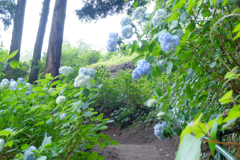 ookuboji-ajisai (16)