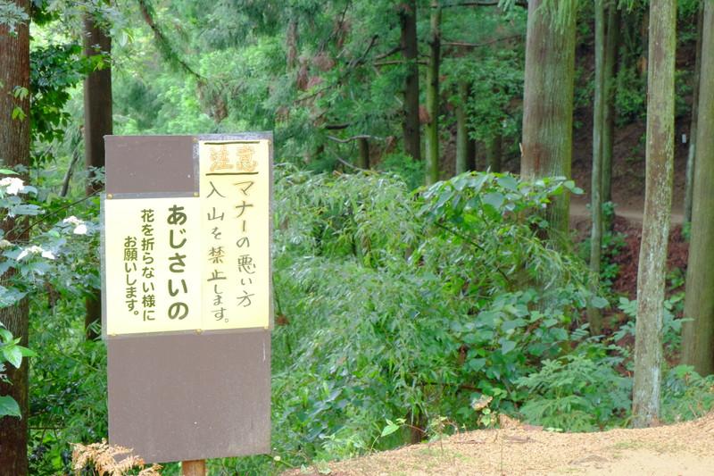 ookuboji-ajisai (5)