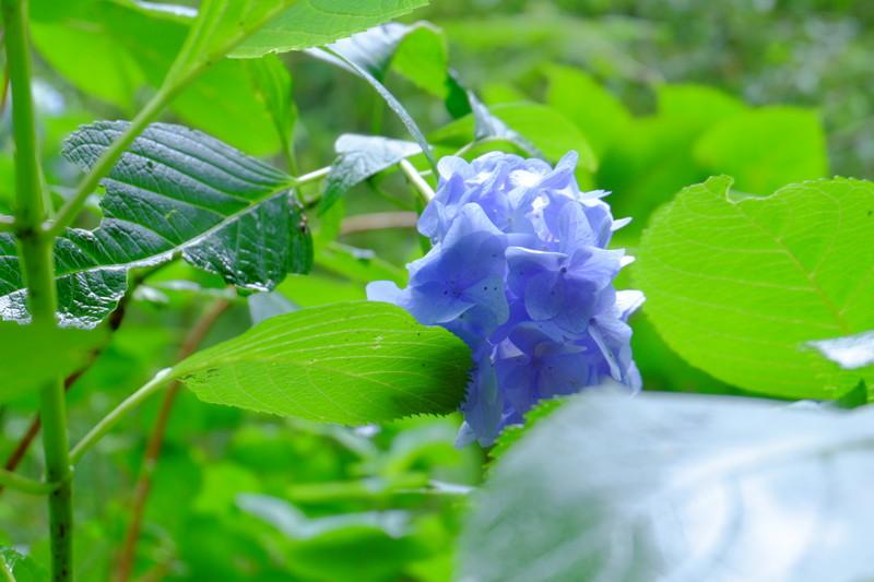 ookuboji-ajisai (6)