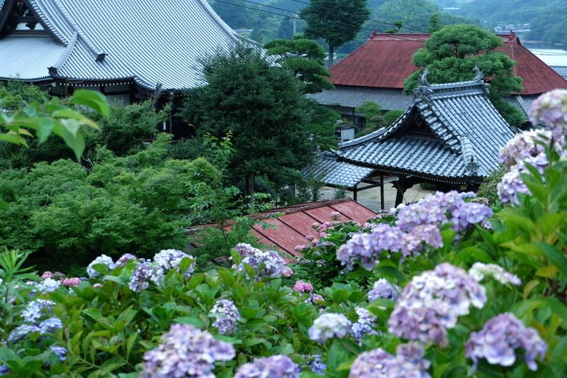 shoumyouji-ajisai (2)