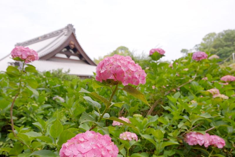 shoumyouji-ajisai (21)