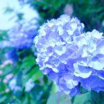 【香川県高松市西植田町:勝名寺の紫陽花が見頃】蓮やあじさいなど花の寺としても有名!