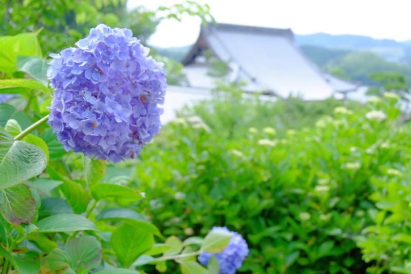 shoumyouji-ajisai (34)