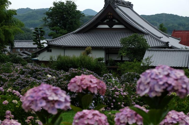 shoumyouji-ajisai (4)