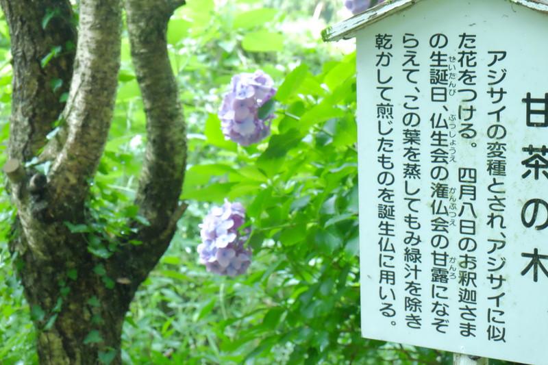 shusshakaji-ajisai (11)