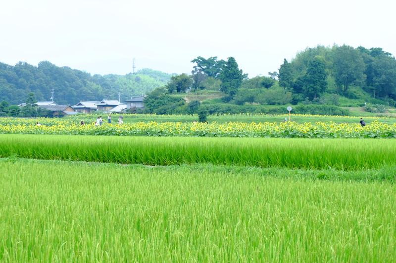 himawarinosato-mannou (1)