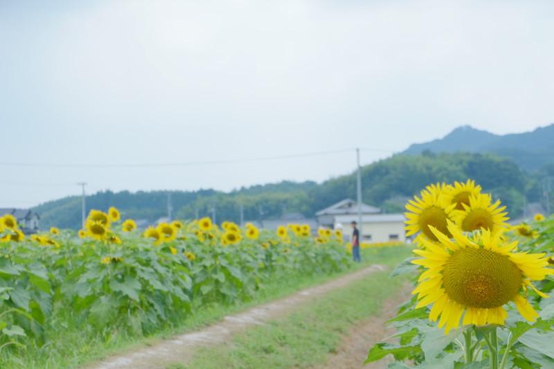 himawarinosato-mannou (11)
