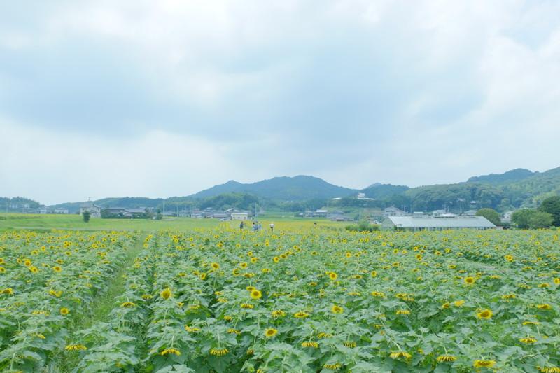himawarinosato-mannou (16)