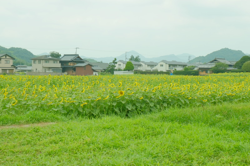 himawarinosato-mannou (21)