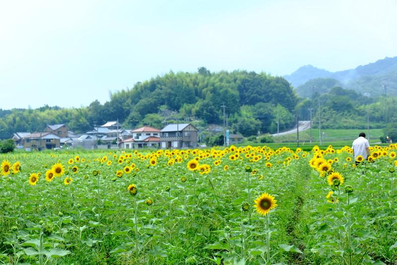 himawarinosato-mannou (3)