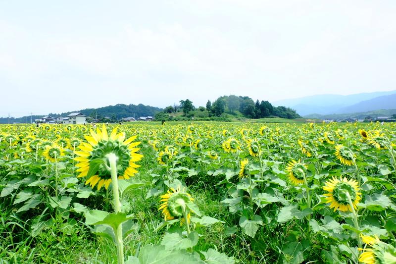 himawarinosato-mannou (5)