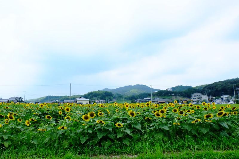 himawarinosato-mannou (7)