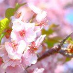 【白鳥の観光名所!香川県東かがわ市の河津桜が見頃】湊川沿いに咲く綺麗な桜に車を停めて見入るドライバーも!