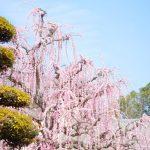 【場所も紹介!香川県まんのう町のしだれ梅】松本邸で一般公開されているしだれ梅は樹齢約55年!